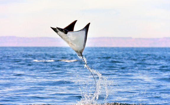 flying manta