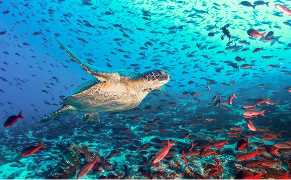 turtle fish