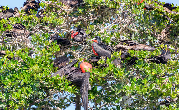 frigate birds in tree