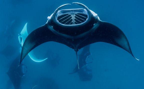 group manta rays