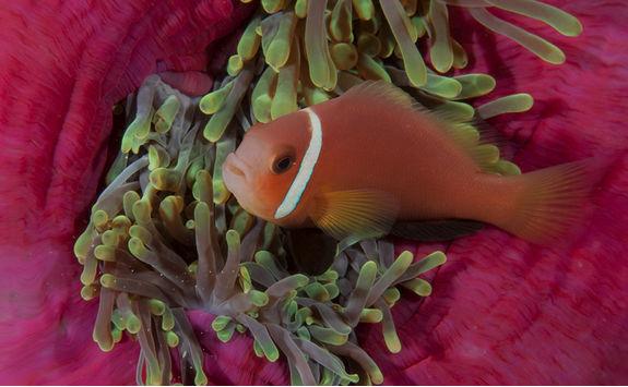 clownfish close