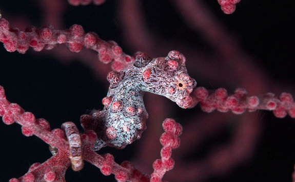 pygmy seahorse philippines