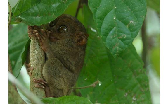 tarsier in tree philippines
