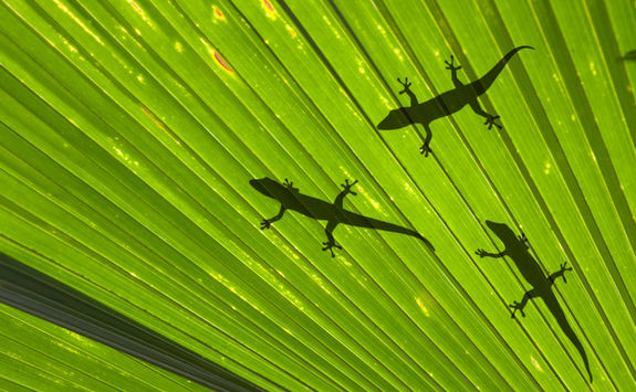 geckos on palm leaf seychelles