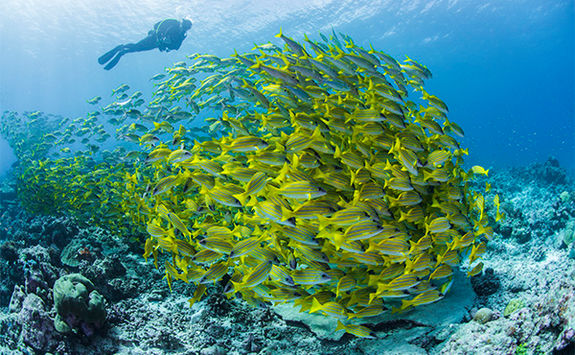 diver and shoal of yellow fish alphonse