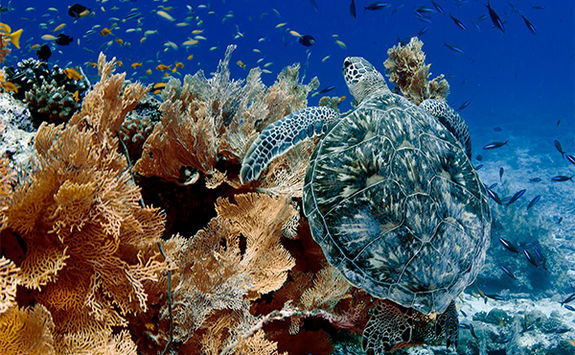 sea turtle and coral alphonse