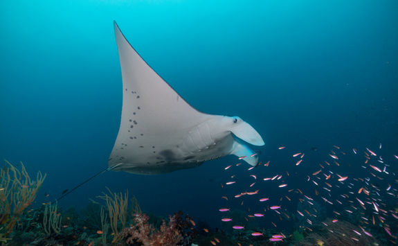 manta ray and fish