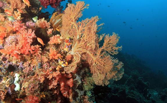 Pink Coral Reef, Cape Kri