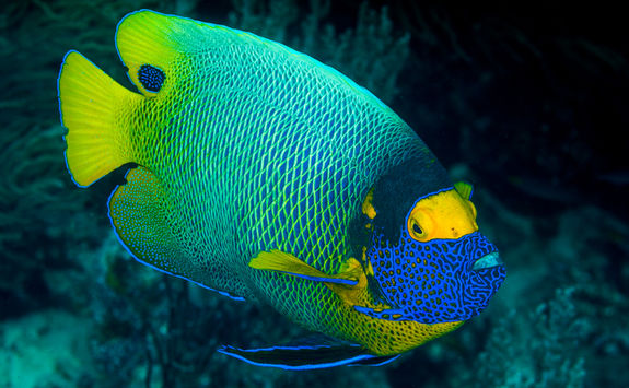 Yellow Mask Angel Fish, Misool