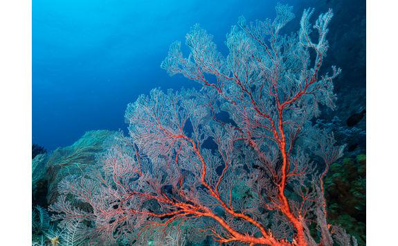 Sea Fan and Coral, Misool
