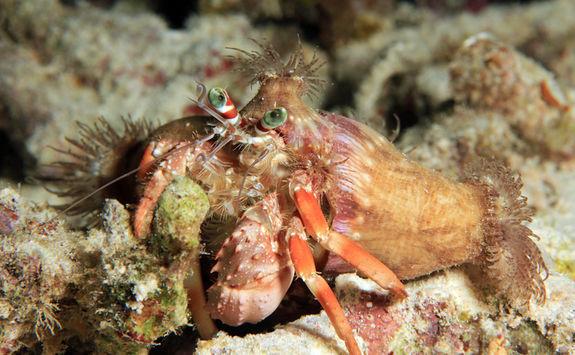 Anemone hermit crab, Raja Ampat