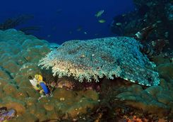 Diving wobbegong shark