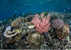 Colourful coral reef in Misool