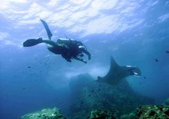 Diving with a manta ray
