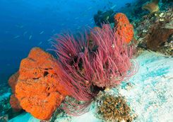 Soft corals in Raja Ampat