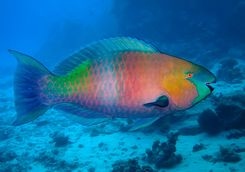 Multi-coloured Parrotfish