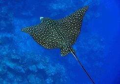 Eagle ray in the Azores