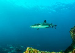 Reef shark Indonesia