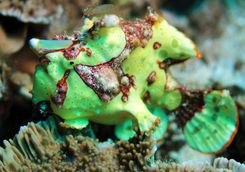 frogfish macro diving
