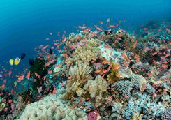 Anthias snorkelling house reef
