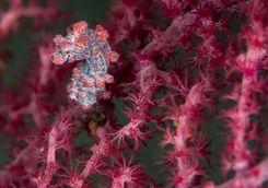 pygmy seahorse scuba diving