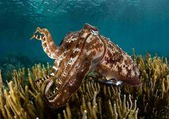 cuttlefish scuba diving Asia