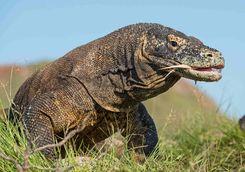 Komodo dragon Komodo National Park