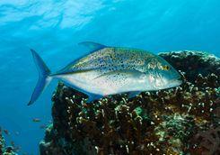 marine life komodo