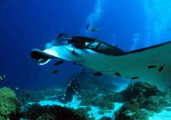 manta ray cleaning station Indonesia