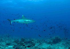 Reef shark scuba diving Indian Ocean