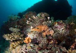 lionfish diving maldives