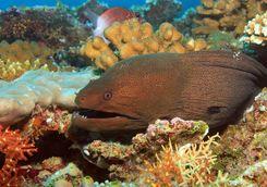 Moray eel maldives
