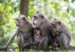 Monkeys with their babies