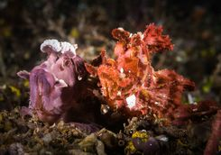 Colourful Scorpion Fish