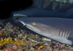 White tip reef shark, Tumbalen