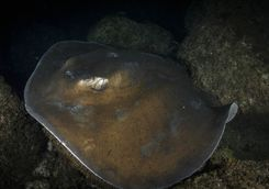 Round tail stingray