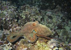 Octopus on reef