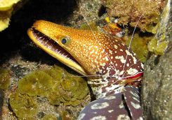 Fangtooth moray eel