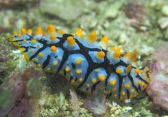 Nudibranch in the Daymaniyat Islands