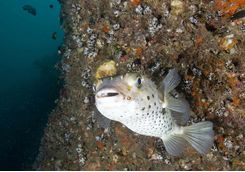 Big Eyed Porcupine Fish, Daymaniyat Islands