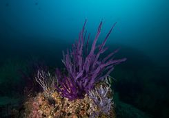 Purple soft corals