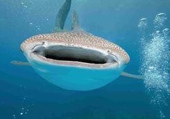 whale shark Hanifaru Bay