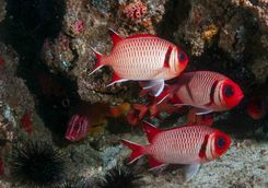 tropical reef fish quirimbas