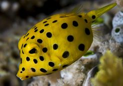Yellow Boxfish Mozambique