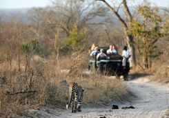 leapord game viewing in Sabi Sands Game Reserve