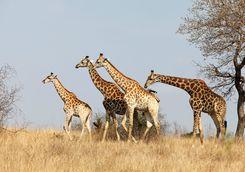 Giraffe game viewing