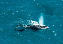 humpback whale and calf Mozambique channel