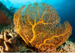 Gorgonion sea fan