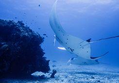 manta ray raja ampat