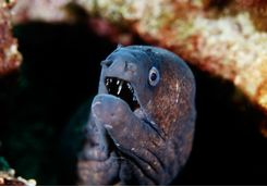 Moray eel diving